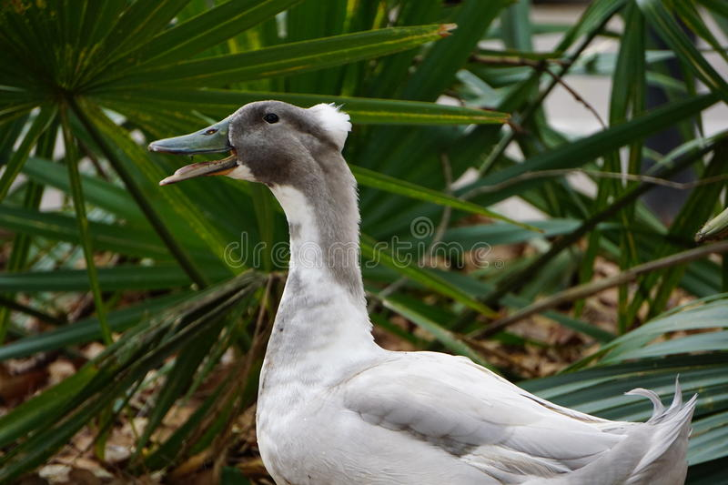 A Hybrid Duck stock photos