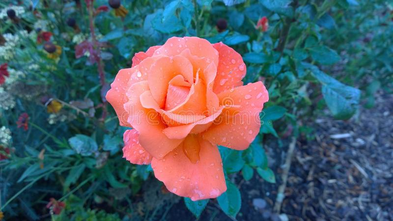 Hybrid Garden Rose after rain royalty free stock image