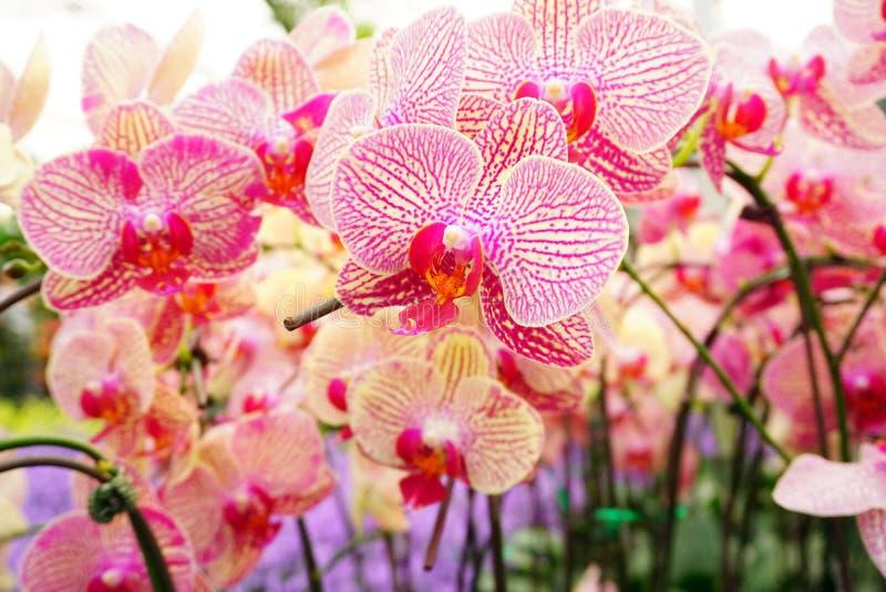 Hybrid- orkidéblommablom med den mjuka fokusen royaltyfria bilder