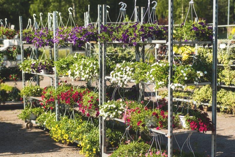 Hybrid- petunior för uteplats på en metallisk kugge i en trädgårds- mitt royaltyfri bild