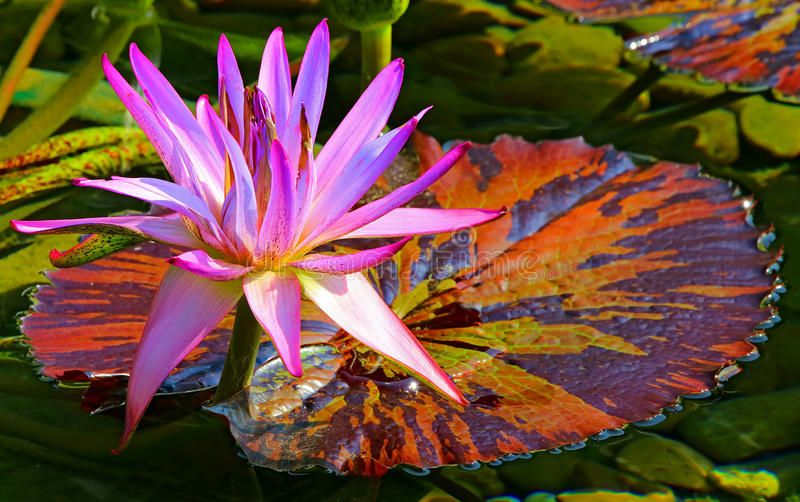 Hybrid purple water lily and colorful pad stock photography