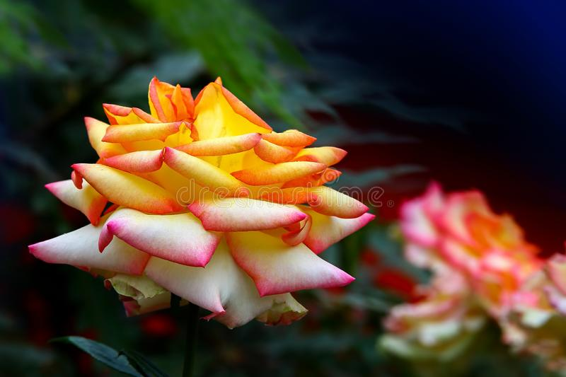 Hybrid rose with shades of yellow and pink in spring garden royalty free stock photos