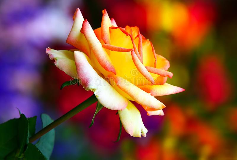 Hybrid rose with shades of yellow and red in spring garden stock photos