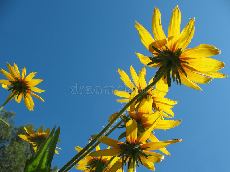 Download Hybrid Rudbeckia (Rudbeckia X Hybrida) Stock Photo - Image of stem, blue: 15641610
