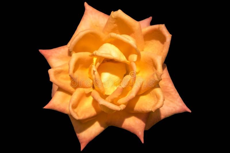 Hybrid Tea rosa `Voodoo` orange-yellow flower isolated on black royalty free illustration