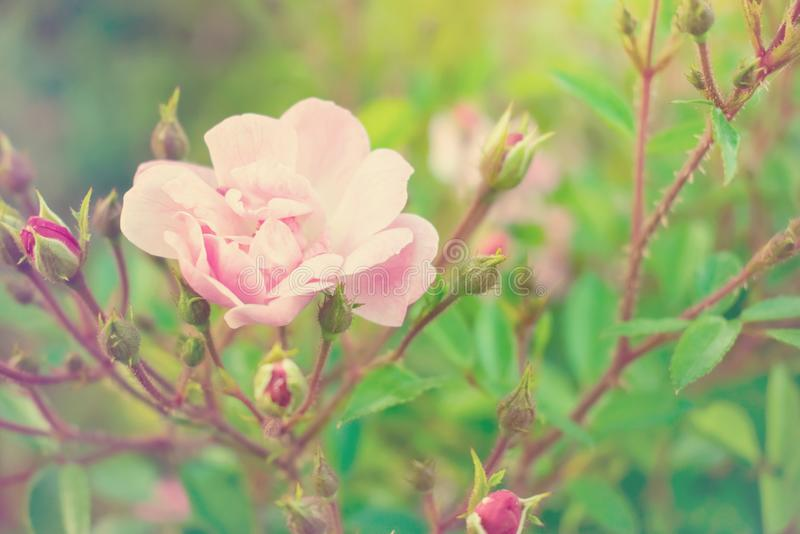 Hybrid tea rose. Delicate pink flower and buds of a fragrant rose. The concept of tenderness and fragility. Selective focus stock image