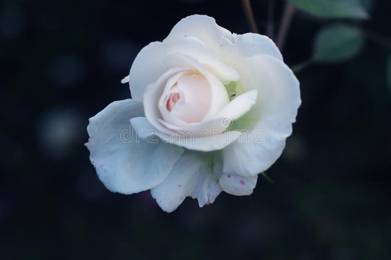 Hybrid tea rose. white Hybrid tea rose isolated.Hybrid tea is an informal horticultural classification for a group of garden roses.  royalty free stock photos