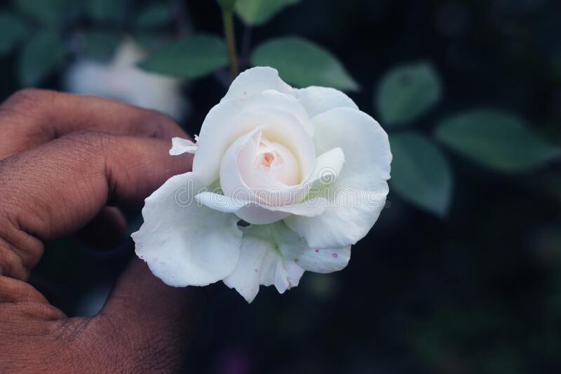 Hybrid tea rose. white Hybrid tea rose isolated.Hybrid tea is an informal horticultural classification for a group of garden roses.  royalty free stock image