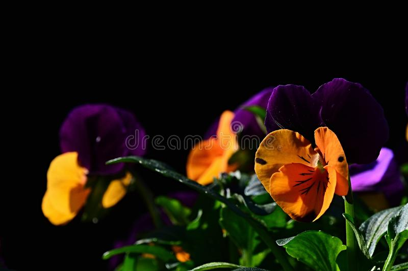 Hybrid yellow to violet flowers of pansy Viola Tricolor on dark background stock photos