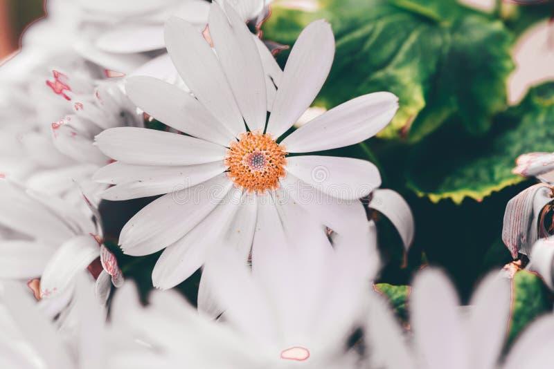 hybrida blanco 2-Pericallis imagenes de archivo