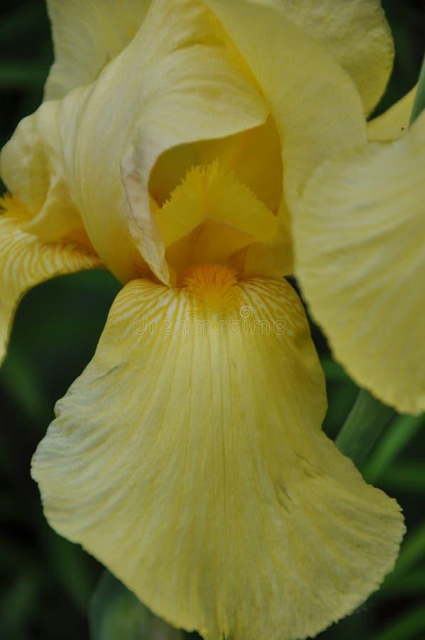 Hybrida de l'iris X photographie stock libre de droits