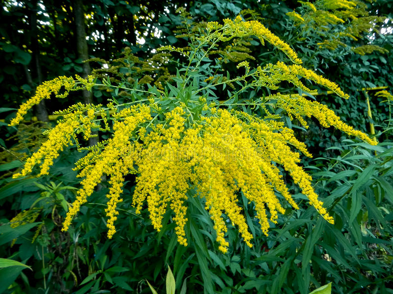 Hybrida de Solidago, fleurs jaunes images stock