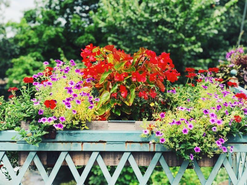 Hybrida em pasta do petúnia e de semperflorens da begônia florescência das flores fotos de stock