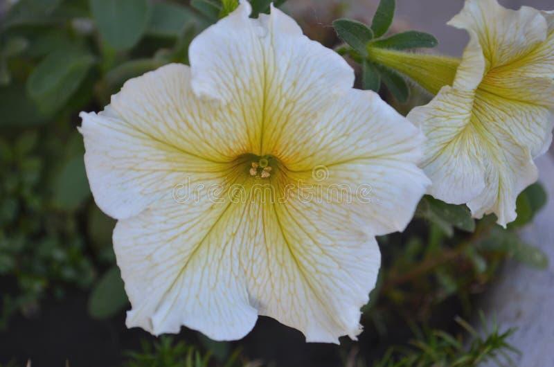 Hybrida floreciente de la petunia de las flores de la petunia imagenes de archivo