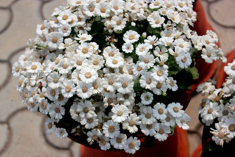 Hybrida 'Jester Pure White' do Pericallis imagens de stock royalty free
