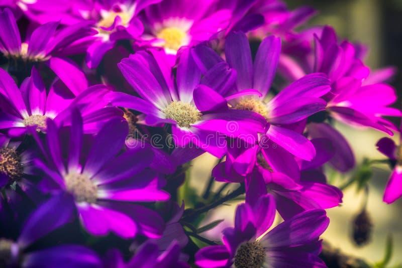 Hybrida púrpura 2-Pericallis foto de archivo