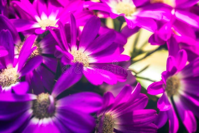 Hybrida púrpura 3-Pericallis foto de archivo