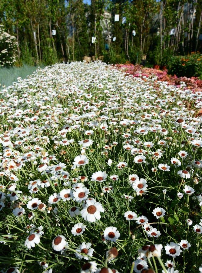 Hybrida Rhodanthemum Έκθεση Euroflora 2018 Parchi Di Nervi Γένοβα Ιταλία στοκ εικόνα