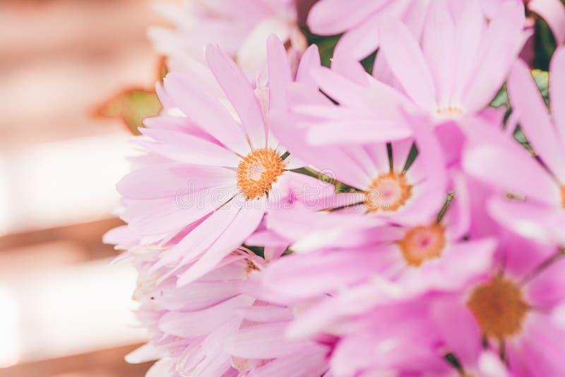 hybrida rosado del color 1-Pericallis fotografía de archivo libre de regalías
