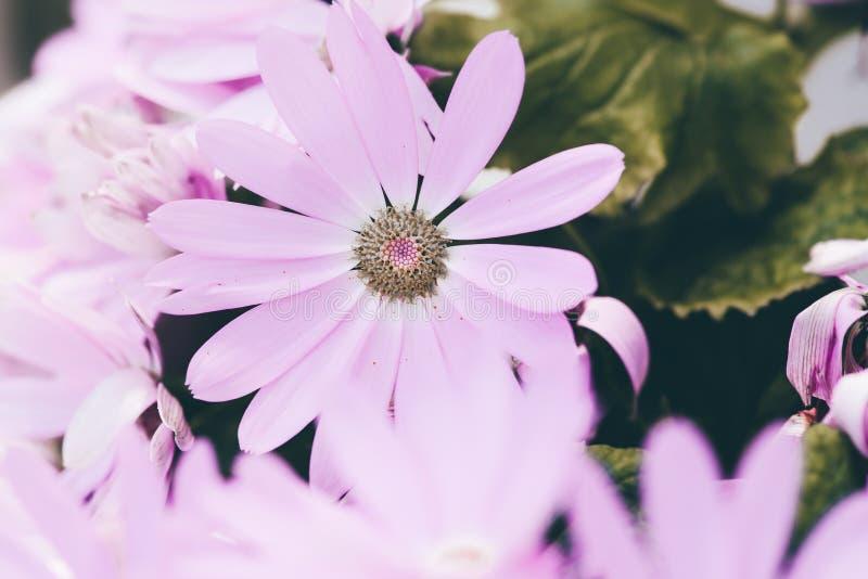 Hybrida rosado del color 3-Pericallis imagen de archivo