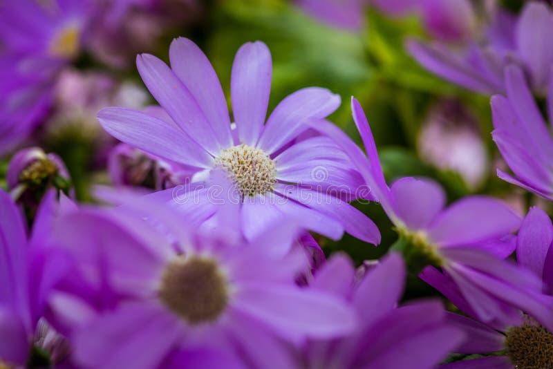 Hybrida violeta 1-Pericallis foto de archivo