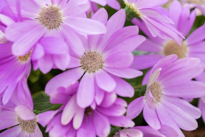 Hybrida violeta 2-Pericallis fotos de archivo libres de regalías