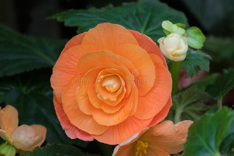 Hybride Begonie tuberhybrida Blume in der orange Lachsfarbe in Tas stockfotografie
