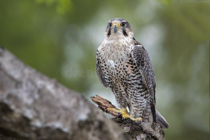 Hybride de faucon pérégrin de Saker images libres de droits