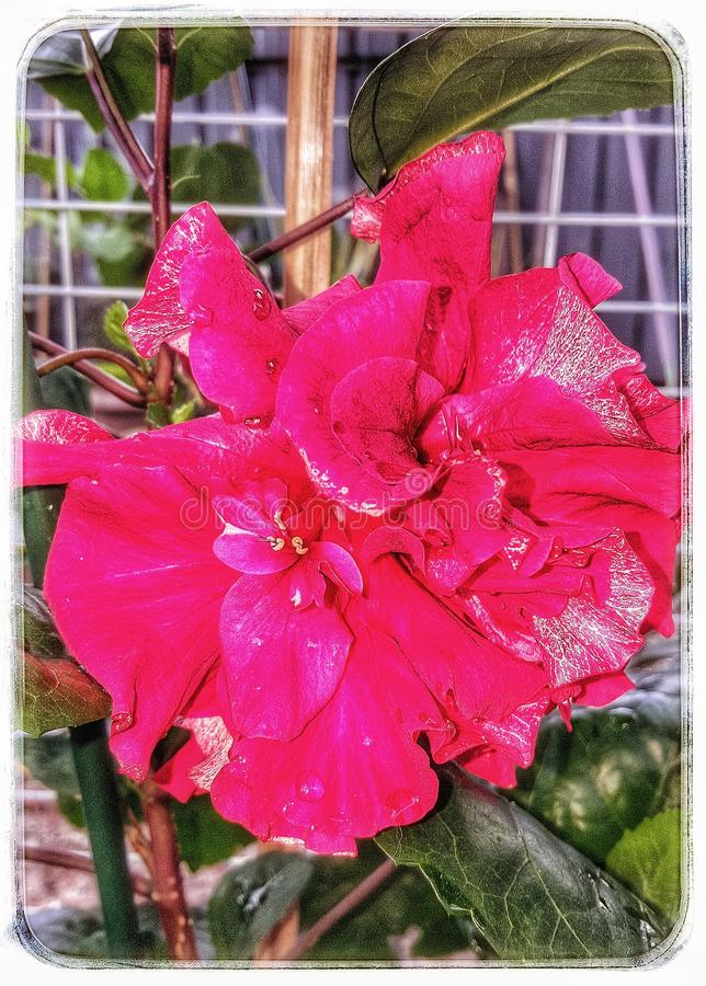Hybride Hibiscus Potrait stock fotografie