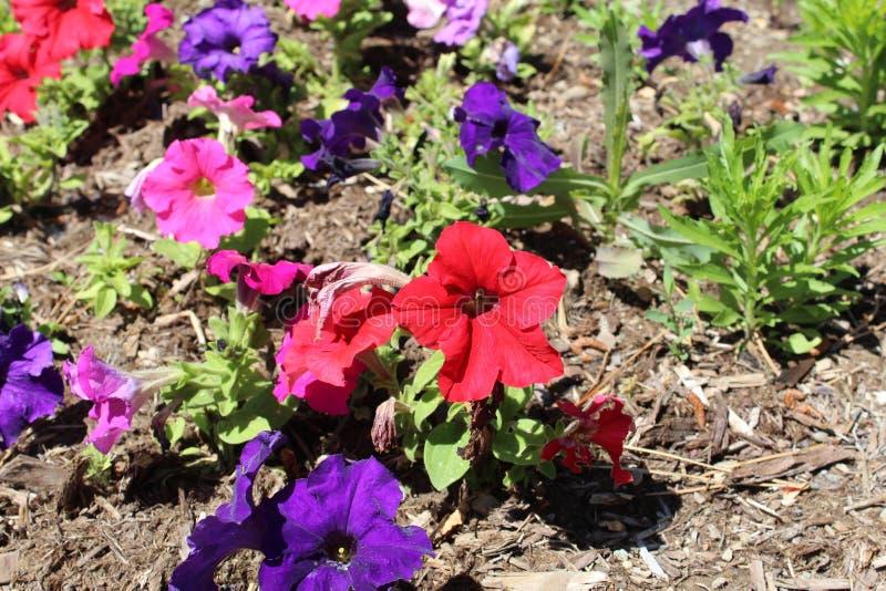 Hybride petunia royalty-vrije stock afbeeldingen