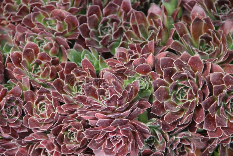 Hybride Succulents lizenzfreies stockfoto