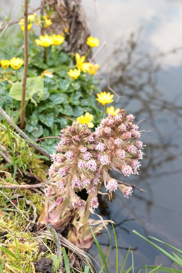 Hybridus del Petasites de la petasita en el lado de las malas hierbas del amonngst de la corriente fotos de archivo libres de regalías