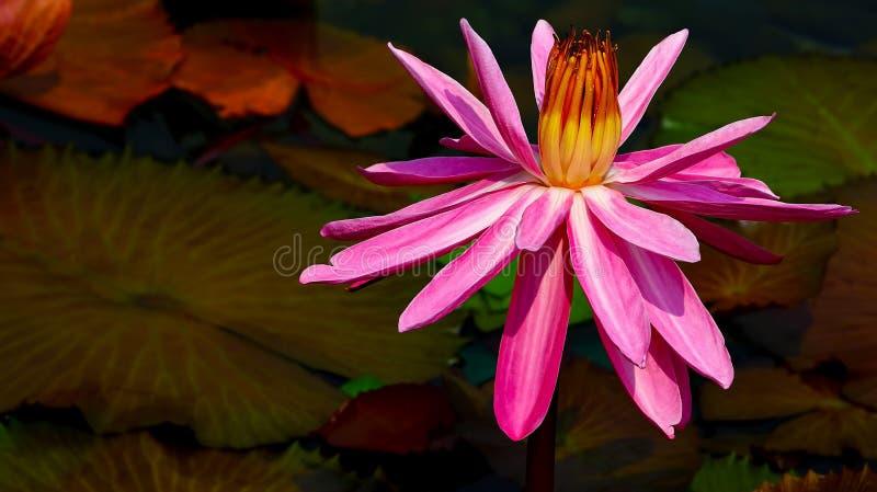 Hybrydowa orientalna tropikalna różowa wodna leluja zamknięta w górę obrazy stock