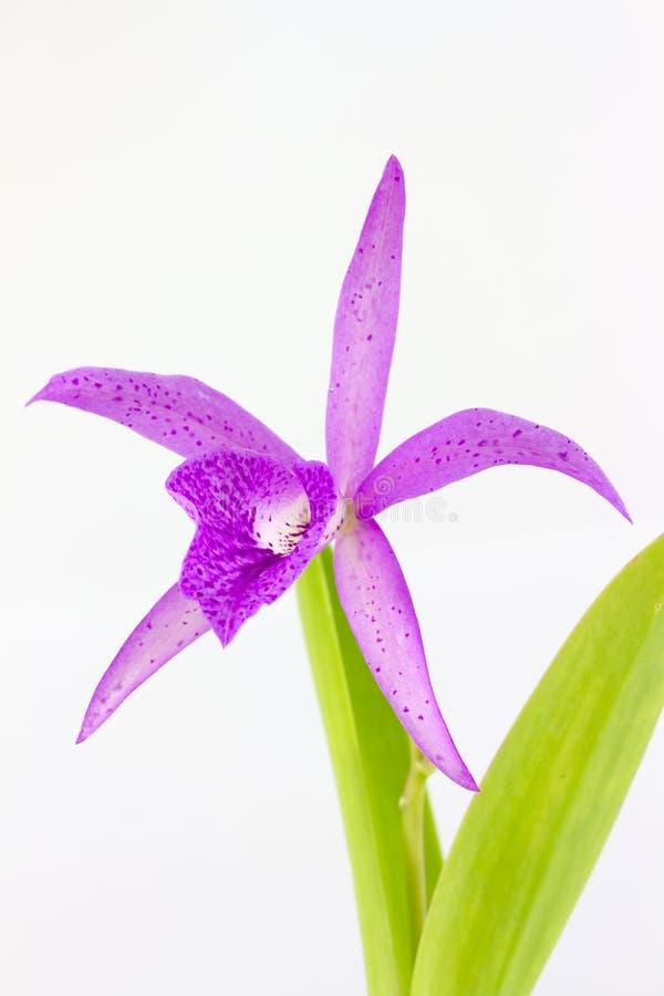 Hybrydowi cattleya krewni wymieniali Maikai Myumi orchidei, Guarisophleya obraz stock