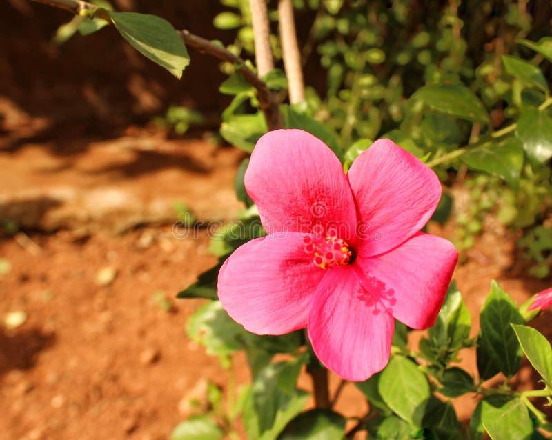 Hybrydowy różowy kwiat hibiscus zdjęcia stock