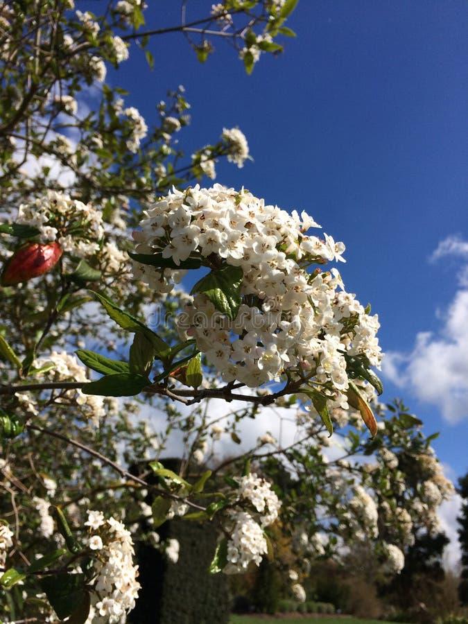 Hyde Hall Garden Buisson fleurissant, avril photo stock