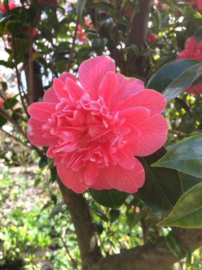 Hyde Hall Garden Rose fleurissant de camelia, avril photographie stock libre de droits