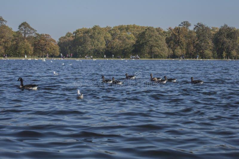 Hyde Park, Londen - eenden en blauwe wateren stock afbeeldingen
