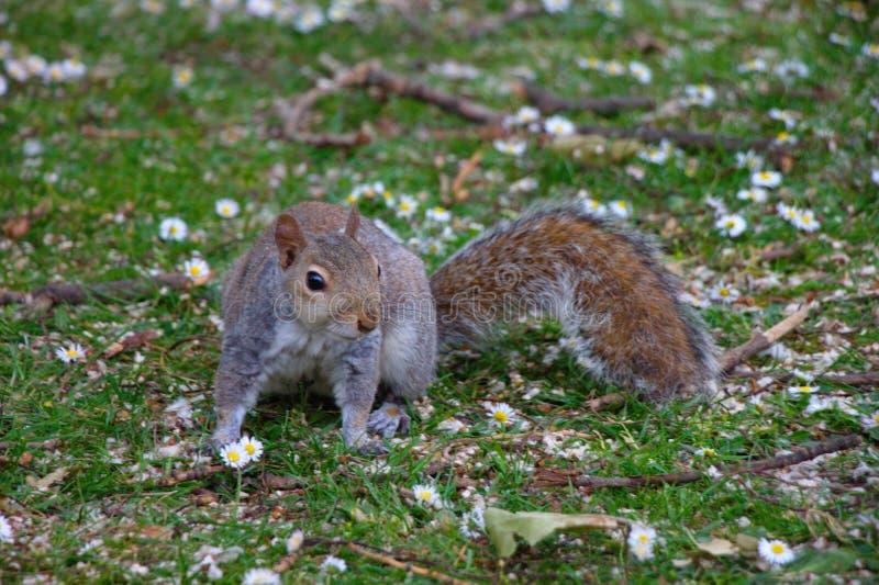 Hyde Parkuje - popielatego wiewiórczego obsiadanie na gazonie z stokrotkami zdjęcia royalty free