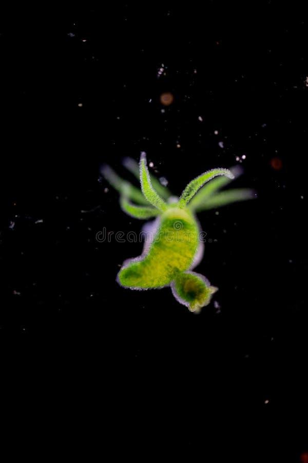 Hydra ist eine Klasse von kleinen, Frischwassertieren des Phylum Cnidaria und von Klasse Hydrozoa unter dem Mikroskop stockbild