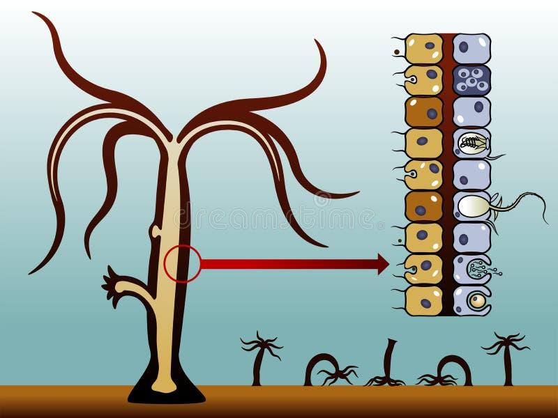 Hydra vulgaris libre illustration