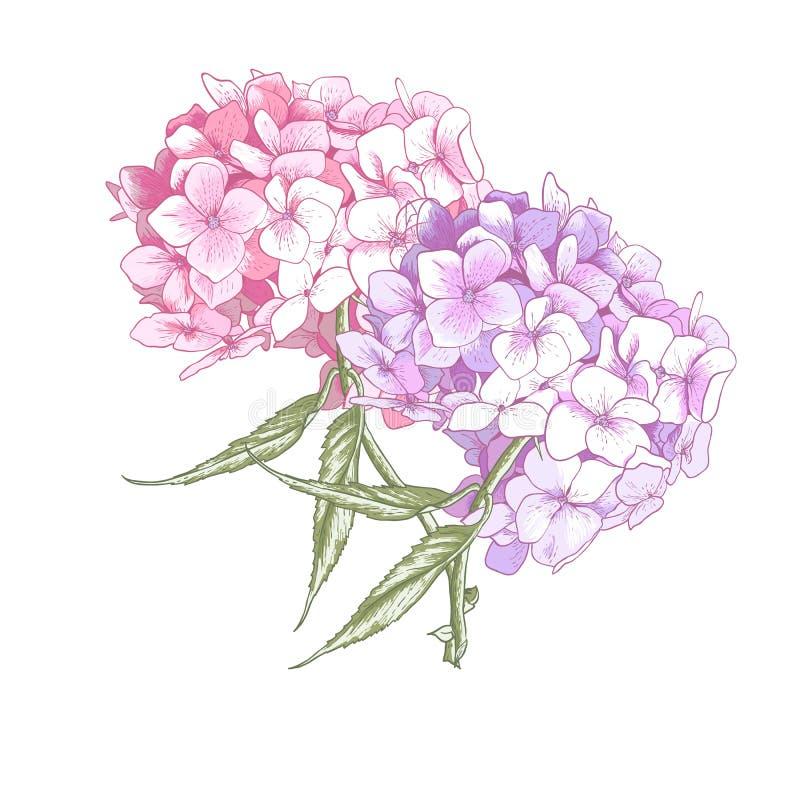 Hydrangea εκλεκτής ποιότητας BotanicalIllustration απεικόνιση αποθεμάτων