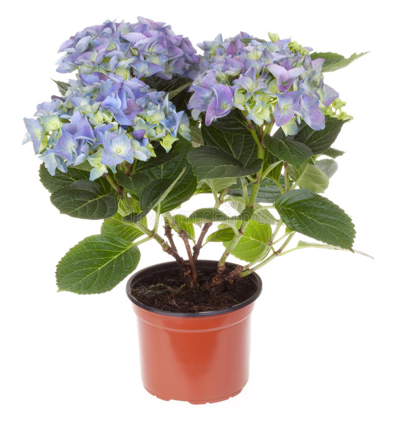hydrangea λουλουδιών άνθισης στοκ φωτογραφίες με δικαίωμα ελεύθερης χρήσης