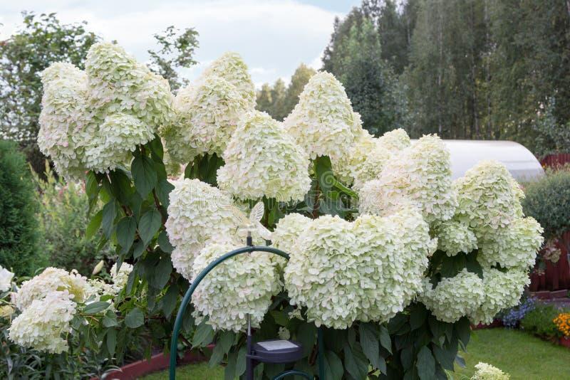 Hydrangea με τα μεγάλα άσπρα καλύμματα των λουλουδιών στοκ φωτογραφίες με δικαίωμα ελεύθερης χρήσης