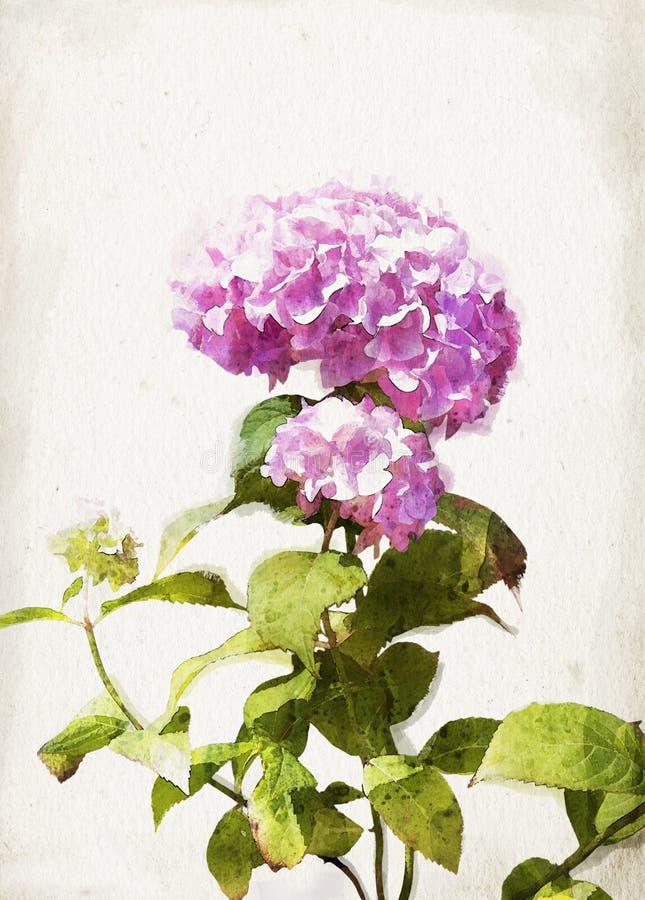 Hydrangea акварели розовый бесплатная иллюстрация