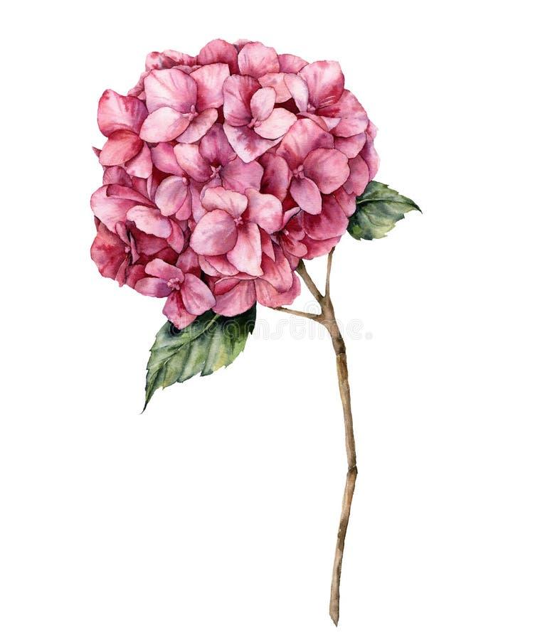 Hydrangea акварели Рука покрасила розовый цветок с листьями и ветвью изолированными на белой предпосылке Botanica природы иллюстрация вектора