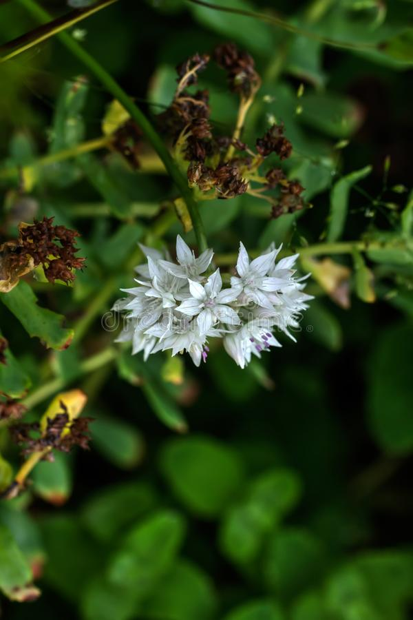 hydrangea Культивируемый цветок стоковая фотография