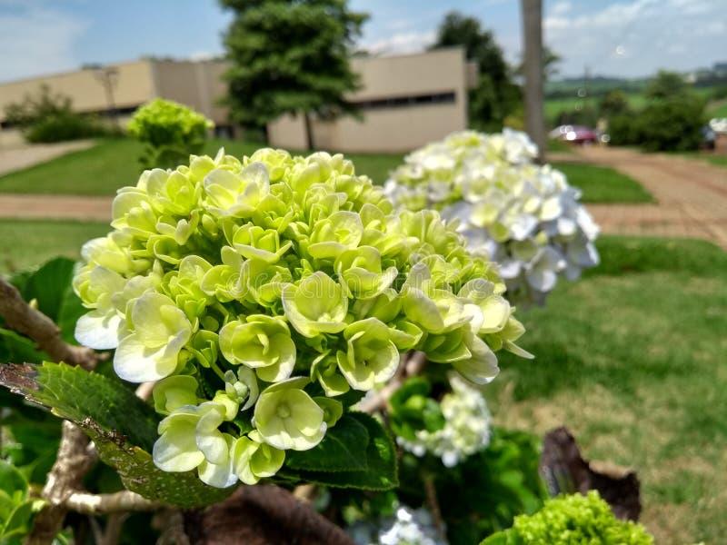 hydrangea стоковые фото