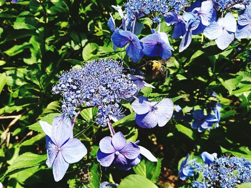 hydrangea royalty-vrije stock afbeelding
