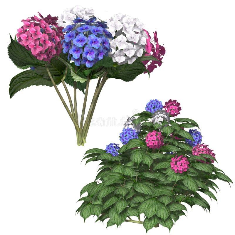 Hydrangea libre illustration